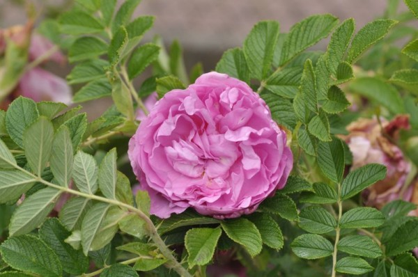 Bodendeckende Rose 'Romantic Roadrunner' ®-1