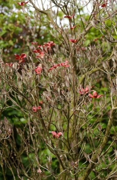 Amerikanischer Blumen-Hartriegel 'Purple Glory'-1