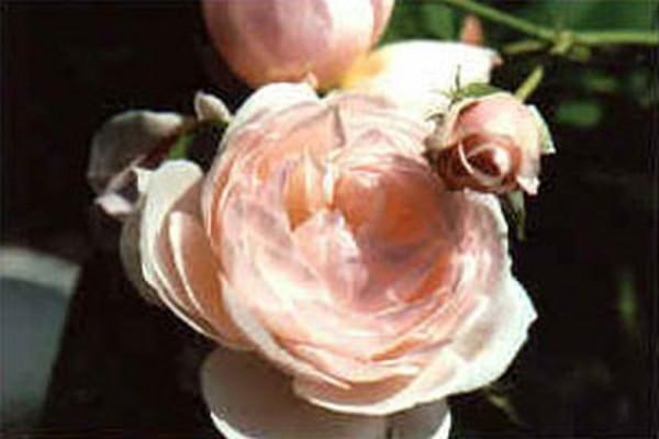 Kletterrose 'Eden Rose '85' ®-1