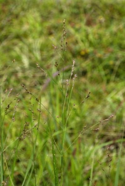 Garten-Ruten-Hirse-1