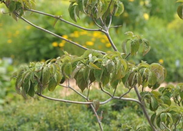 Amerikanischer Blumen-Hartriegel 'Sweetwater'-1