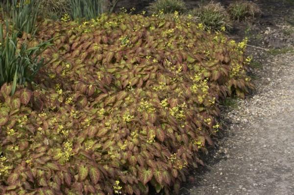 Frohnleiten-Garten-Elfenblume-1