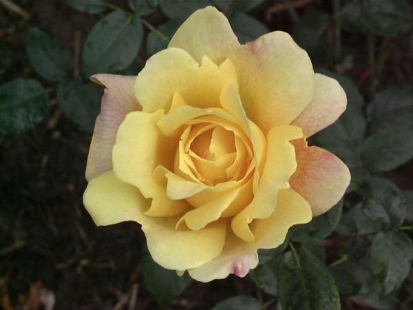 Edelrose 'Sutter's Gold'-1