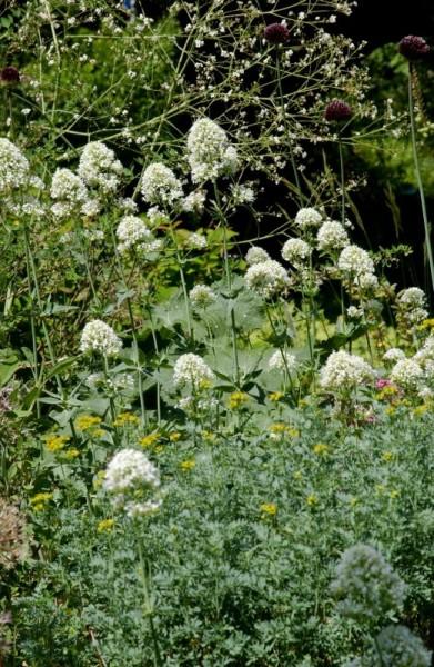 Weißblühende Garten-Spornblume-1