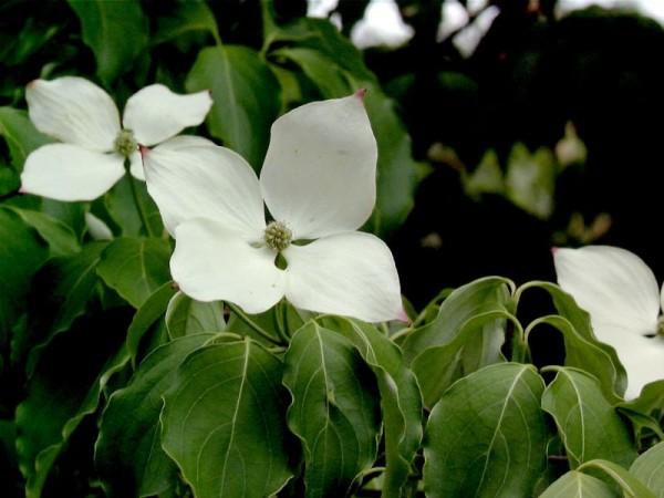 Jap.Blumen-Hartriegel 'Schmetterling'-1