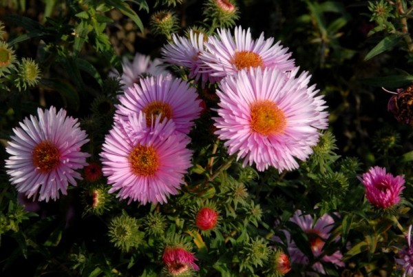 Garten-Raublatt-Aster-1