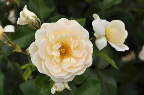 Beetrose 'Isarperle' ® ADR-Rose-1