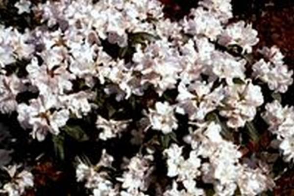 Rhododendron carolinianum 'Dora Amateis'-1