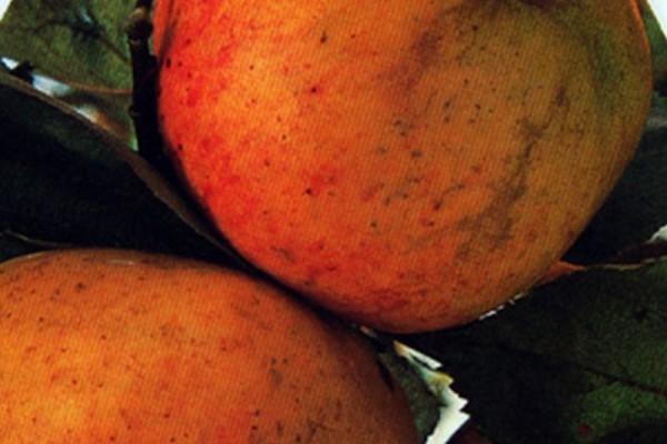 Apfel 'Dülmener Herbstrosenapfel' mittel-1