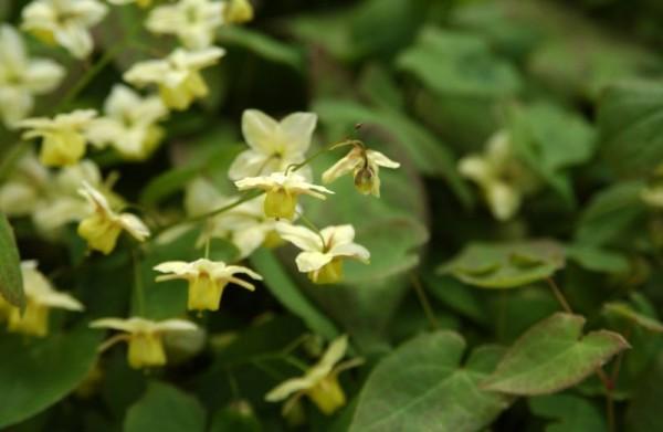 Schwefelgelbe Garten-Elfenblume-1