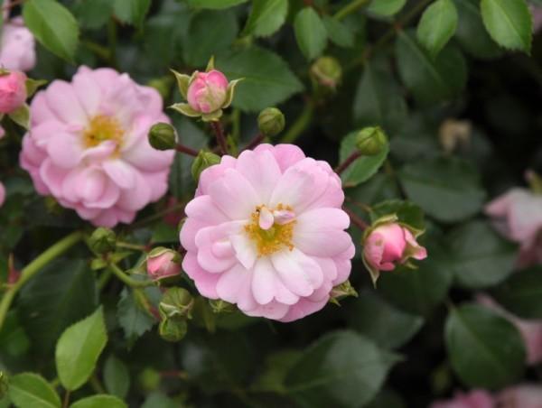 Bodendeckende Rose 'Satina' ® ADR-Rose-1