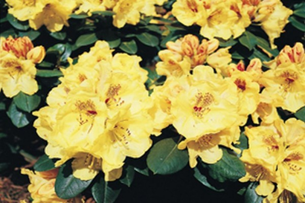 Yaku-Rhododendron 'Goldprinz' ®-1