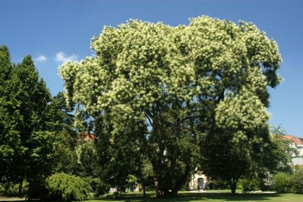 Schnurbaum-1
