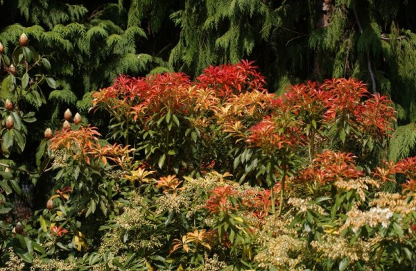 Schattenglöckchen 'Forest Flame'-1