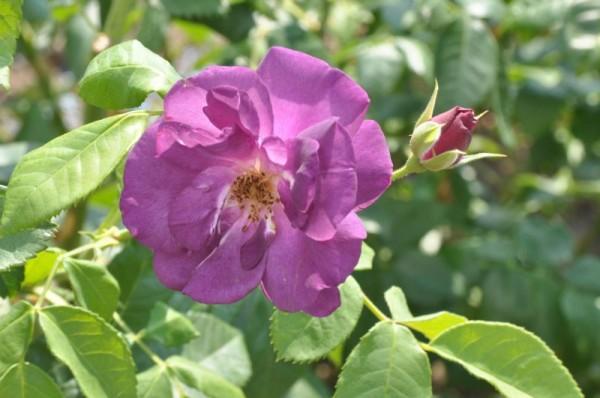 Beetrose 'Rhapsody in Blue' ®-1