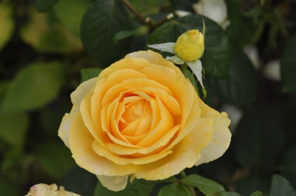 Edelrose 'Candlelight' ®-1