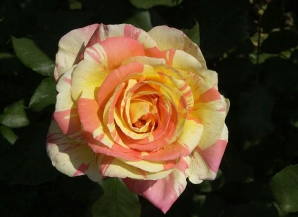 Edelrose 'Marvelle' ®-1