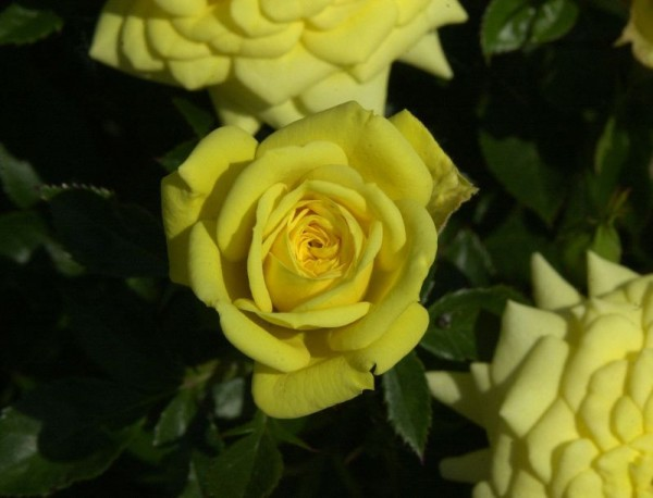 Zwergrose 'Goldjuwel' ®-1