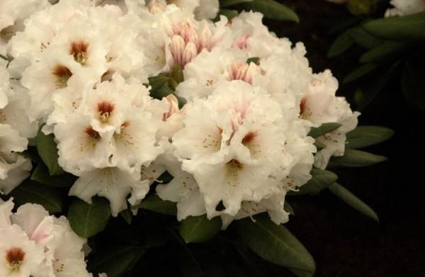 Yaku-Rhododendr.'Bohlken's Snow Fire' ®-1