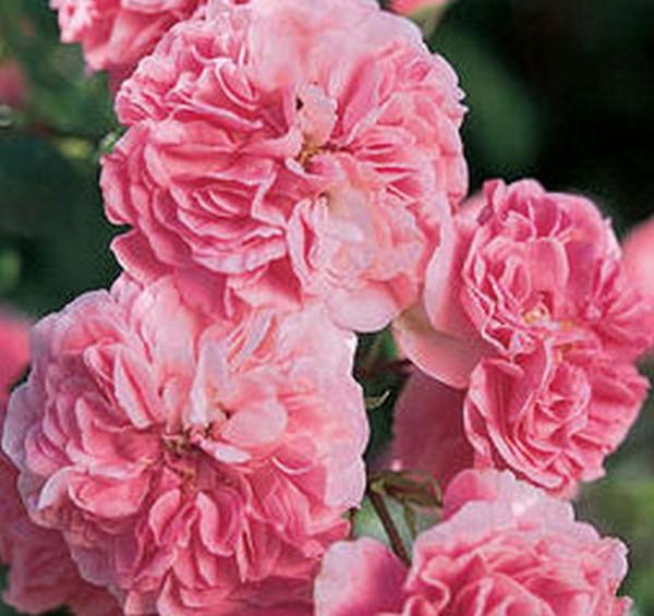 Beetrose 'Pink Swany' ® ADR-Rose-1