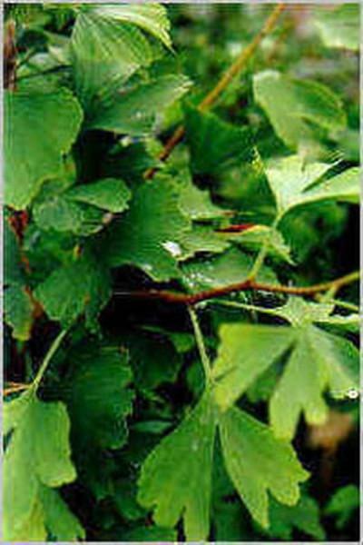 Ginkgobaum / Fächerblattbaum-1