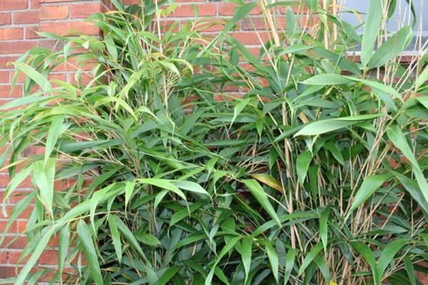 Bambus humilis-1