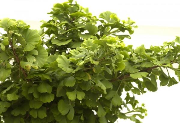 Fächerblattbaum 'Mariken'-1