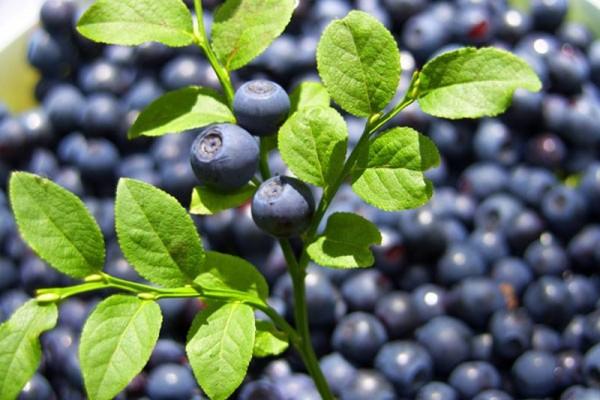 Heidelbeere 'Bluecrop'-1