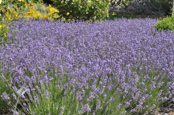 Blauviolettblühender Lavendel-1