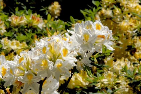 Sommergrüne Azalee 'Persil'-1
