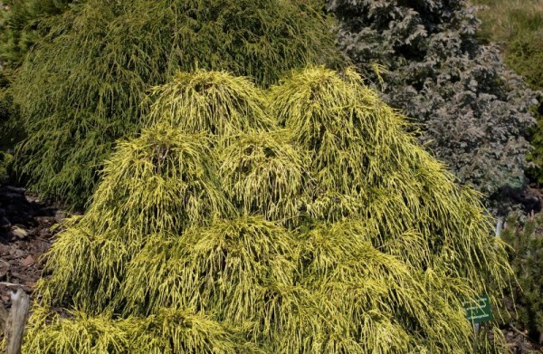 Gelbe Fadenzypresse-1
