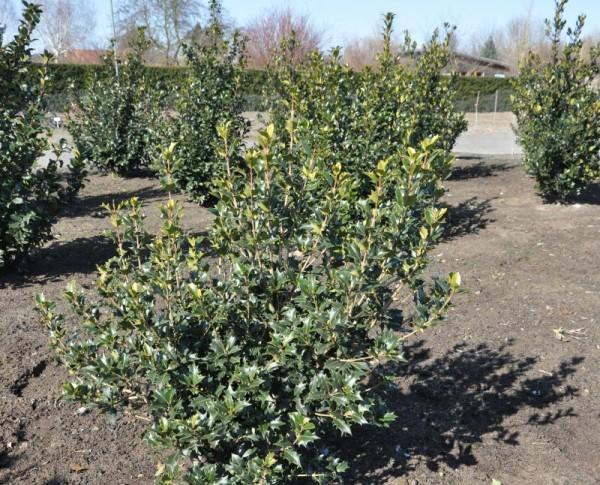 Stachelblättrige Duftblüte-1
