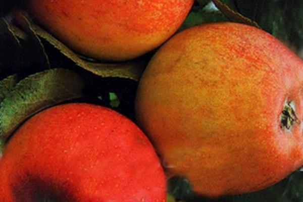 Apfel 'Alkmene' mittel-1