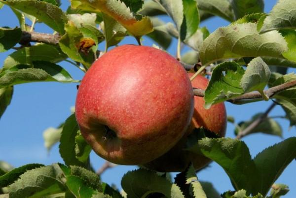 Apfel 'Jonagored' -S- mittel-1