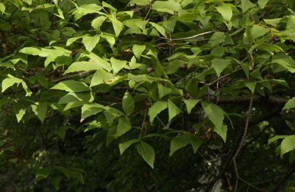 Dreiblütiger Ahorn-1
