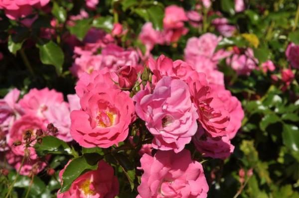 Bodendeckende Rose 'Heidetraum' ® ADR-Rose-1