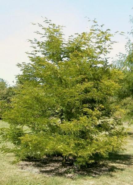 Lederhülsenbaum 'Sunburst'-1