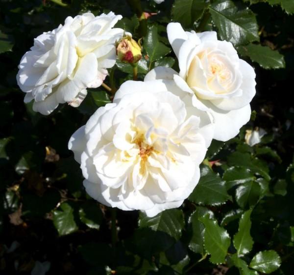 Beetrose 'Petticoat' ® ADR-Rose-1