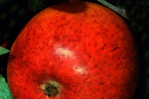 Apfel 'Cox Orange Renette' mittel-1