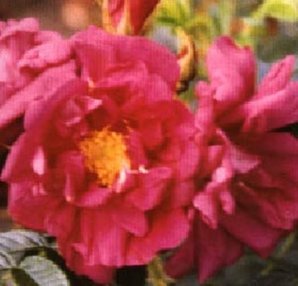 Bodendeckende Rose 'Rotes Meer'-1