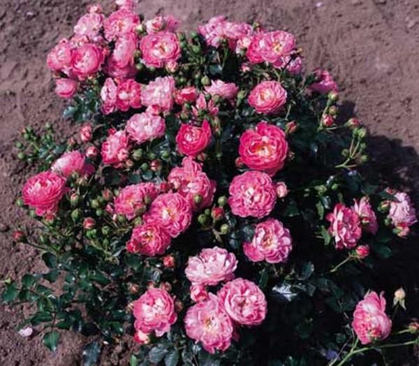 Zwergrose 'Charmant' ® ADR-Rose-1