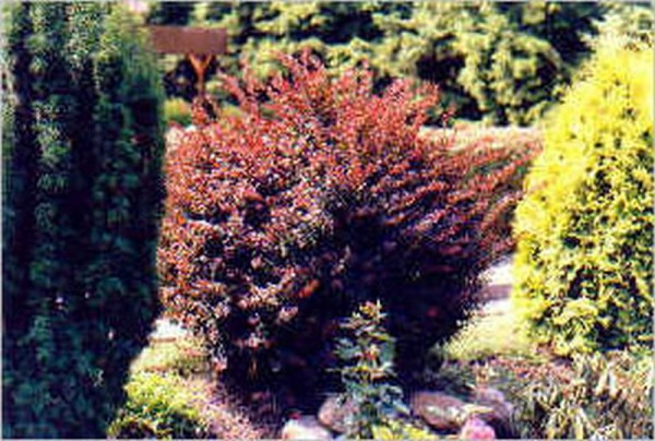 Rote Heckenberberitze-1