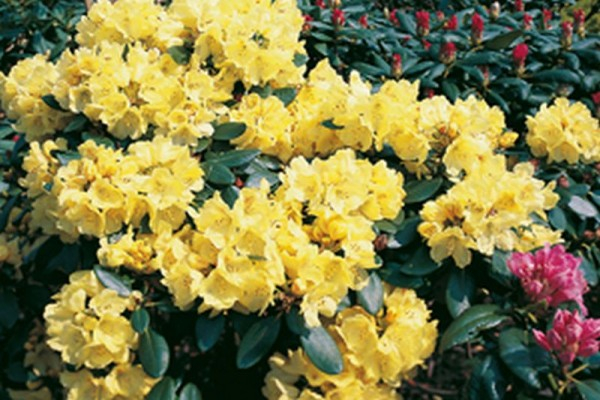 Rhododendron-Hybride 'Goldkrone' ®-1