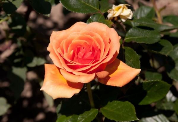 Edelrose 'Ashram' ®-1