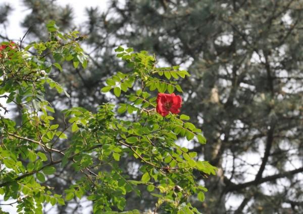 Mandarin-Rose-1