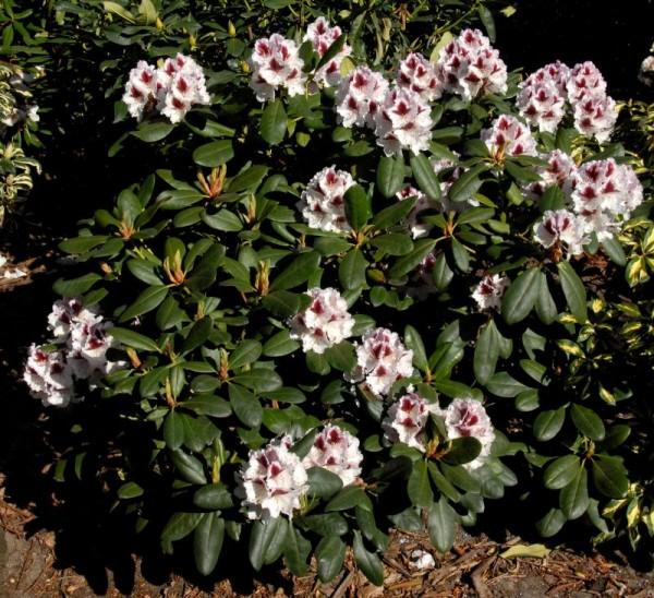 Rhododendron-Hybride 'Herbstgruß'-1