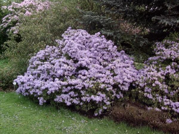 Kleinblättr.Rhododendron 'Moerheim'-1