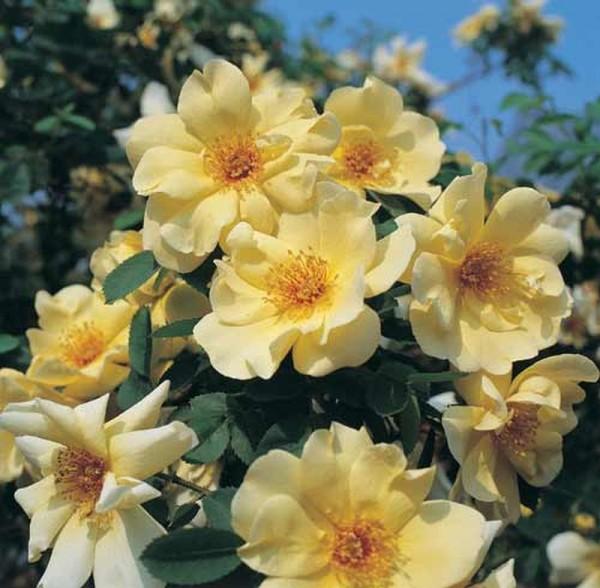 Strauchrose 'Frühlingsgold'-1