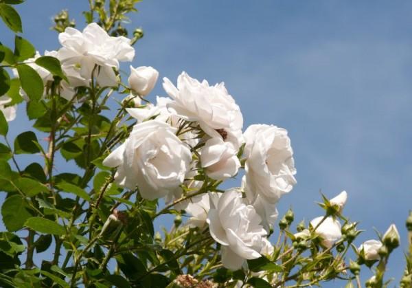 Kletterrose 'Hella' ® ADR-Rose-1
