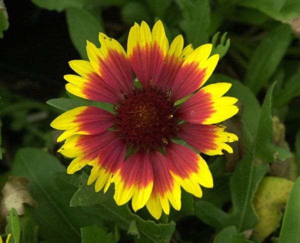 Großblumige Garten-Kokardenblume-1